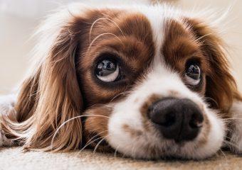 WAU – Information Literacy for Dog Buyers